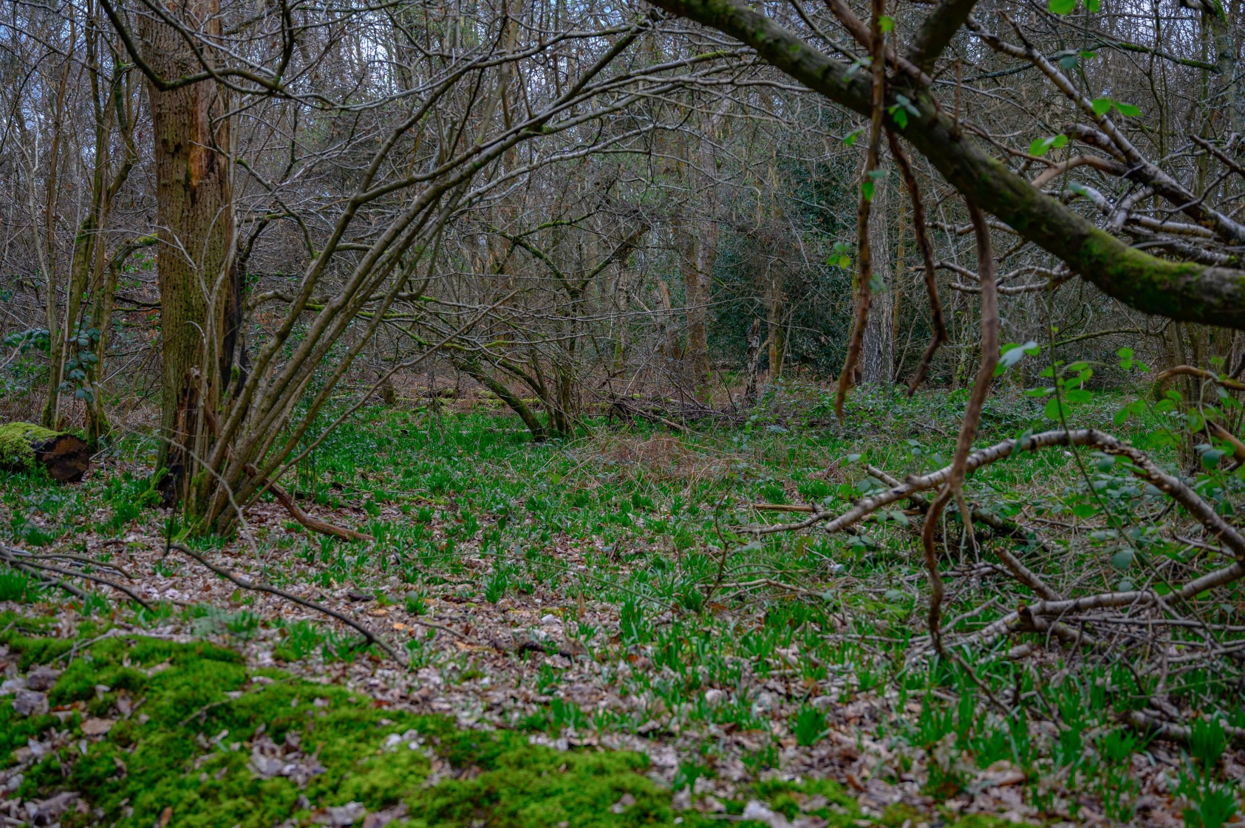 Restoration To Bring Ancient Whippendell Wood Back To Life Underway